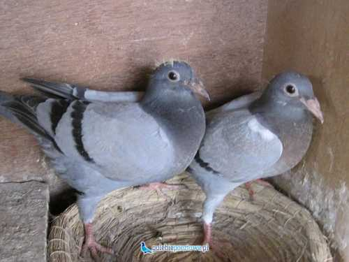 Gołębie pocztowe po oryg. Drapa