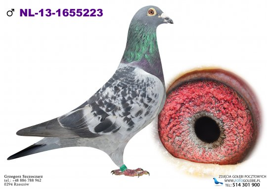 NL-13-1655223-golebie-pocztowe-koopman — kopia